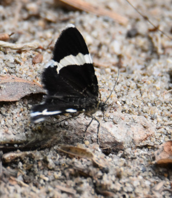 Photo of White Striped Black Moth Landed on Sand on NaturalCrooksDotCom