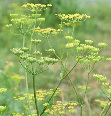 Photo of Wild Parsnip Red Soldier Beetles On NaturalCrooksDotCom