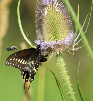 Photo of Black Swallowtail on Teasel with Bee Behind on NaturalCrooksDotCom