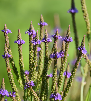 Photo of Blue Vervain on NaturalCrooksDotCom