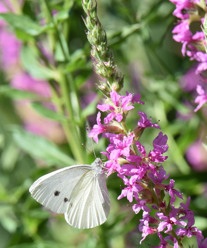 Photo of Cabbage White Purple Loosestrife on NaturalCrooksDotCom