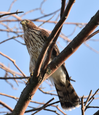 Photo of Coopers Hawk Juvenile Hungry on NaturalCrooksDotCom