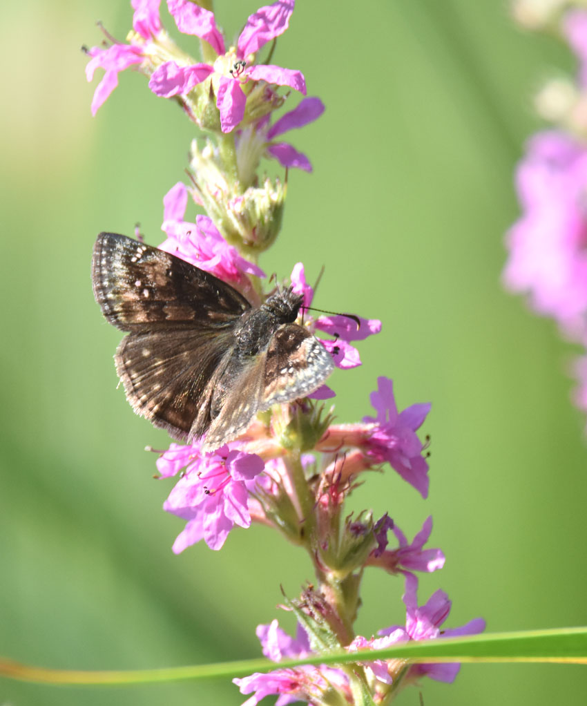 Photo of Duskywing on Purple Loosestrife on NaturalCrooksDotCom