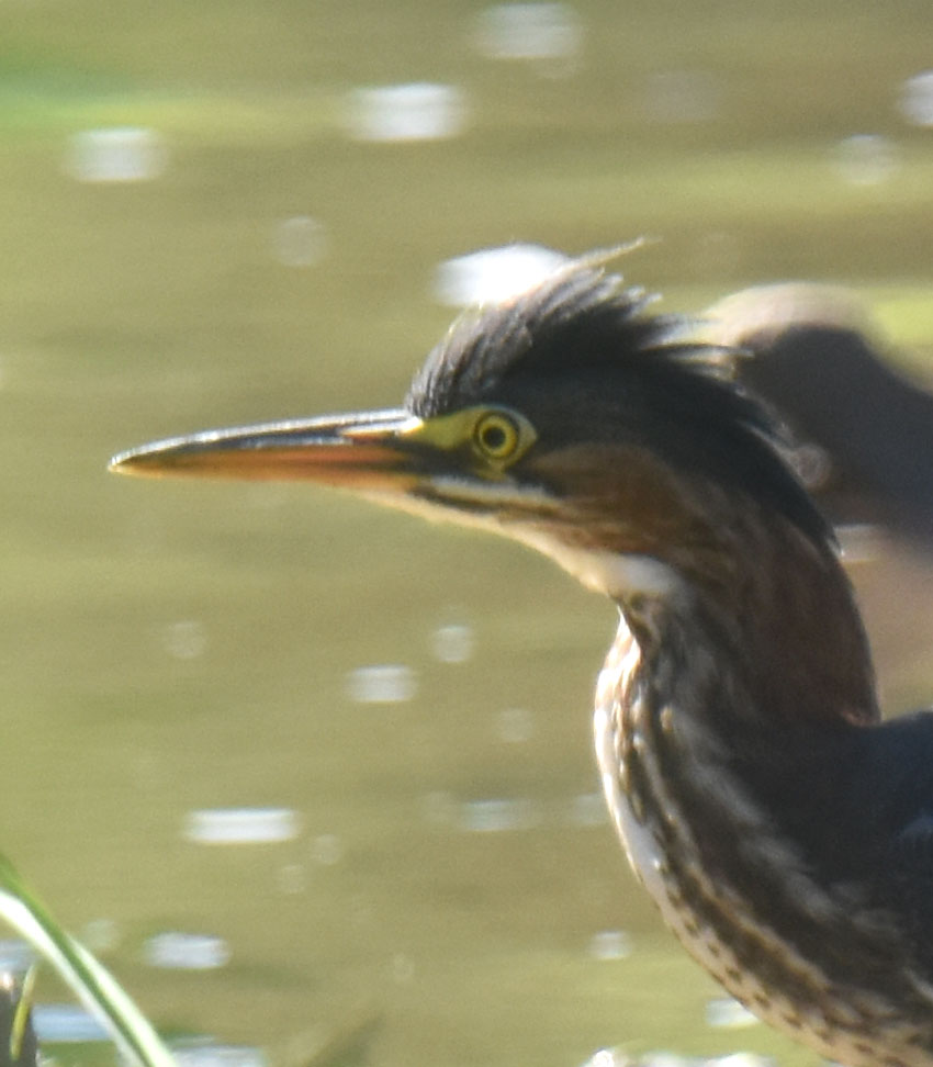 Photo of Green Heron Juvenile Face on NaturalCrooksDotCom