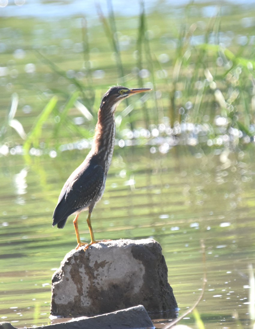 Photo of Green Heron Juvenile Stretched Up on NaturalCrooksDotCom