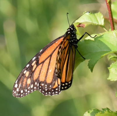 Photo of Monarch Rattray August 5 on NaturalCrooksDotCom