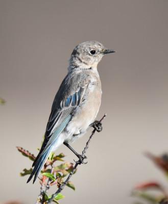 Photo of Mountain Bluebird Probably Female Horseshoe Canyon on NaturalCrooksDotCom