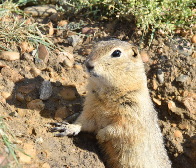 Photo of Richardsons Ground Squirrel Horseshoe Canyon on NaturalCrooksDotCom