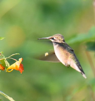 Photo of Ruby Throated Hummingbird Backing Out Jewelweed On NaturalCrooksDotCom
