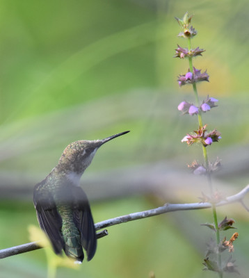 Photo of Ruby Throated Hummingbird Juvenile Male Perched On NaturalCrooksDotCom