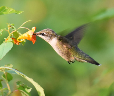 Photo of Ruby Throated Hummingbird Spotted Jewelweed on NaturalCrooksDotCom