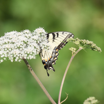 Photo of Tiger Swallowtail on Cow Parsnip on NaturalCrooksDotCom