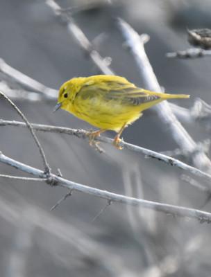 Photo of Yellow Warbler Horseshoe Canyon on NaturalCrooksDotCom