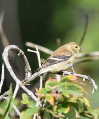 Photo of American Goldfinch Rattray Sept on naturalcrooksdotcom