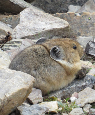 Photo of American Pika Adorable on naturalcrooksdotcom
