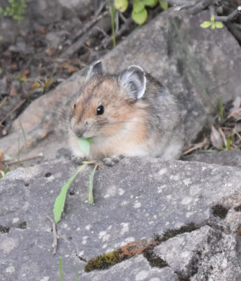 Photo of American Pika Chew on naturalcrooksdotcom