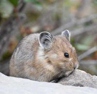 Photo of American Pika Face on naturalcrooksdotcom