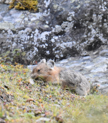 Photo of American Pika Finding Food on naturalcrooksdotcom