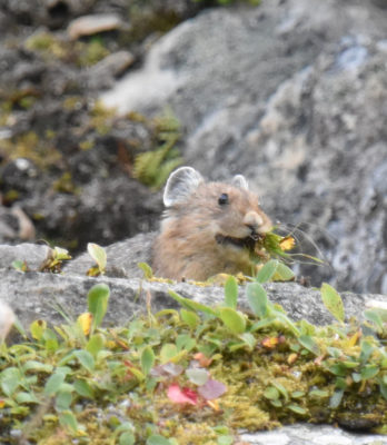 Photo of American Pika Gathering Hay on naturalcrooksdotcom