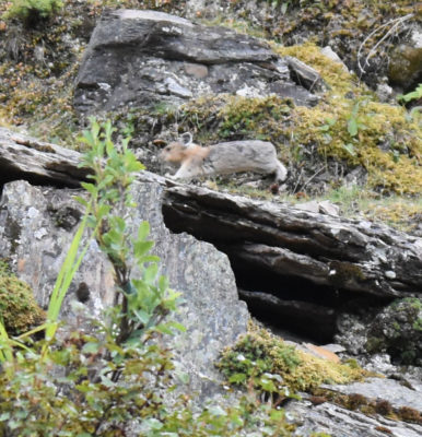 Photo of American Pika Leap on naturalcrooksdotcom