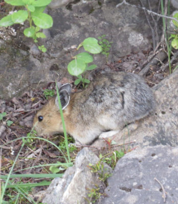 Photo of American Pika Long Hind Feet on naturalcrooksdotcom