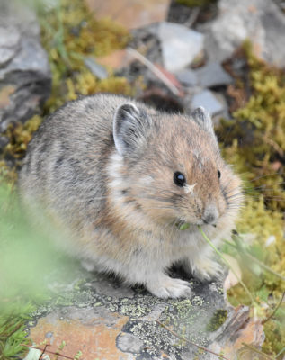 Photo of American Pika Seed on Whiskers on naturalcrooksdotcom