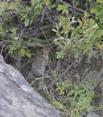 Photo of American Pika Sitting Up on naturalcrooksdotcom
