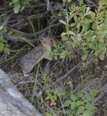 Photo of American Pika Stretch to Bush on naturalcrooksdotcom