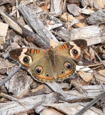 Photo of Common Buckeye Jack Darling park Mississauga ON on naturalcrooksdotcom