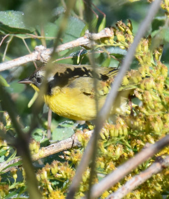 Photo of Common Yellowthroat Male Rattray Sept On naturalcrooksdotcom