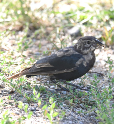 Photo of Cowbird Juvenile Jack Darling Sept on naturalcrooksdotcom