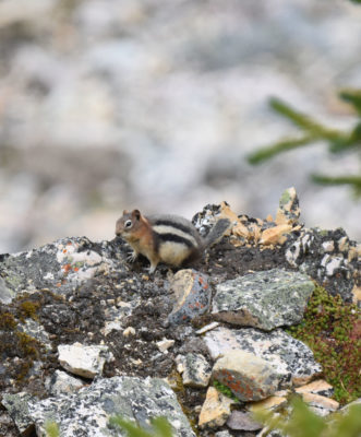 Photo of Golden-mantled Ground Squirrel Peyto Lake on naturalcrooksdotcom