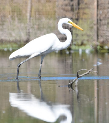 Photo of Great Egret Rattray Sept on naturalcrooksdotcom