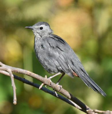 Photo of Grey Catbird Rattray Sept on naturalcrooksdotcom