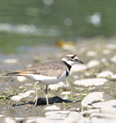 Photo of Killdeer Rattray Sept on naturalcrooksdotcom