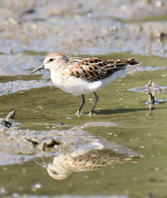 Photo of Least Sandpiper Rattray Sept on naturalcrooksdotcom