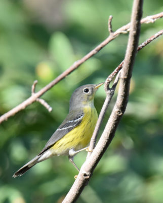 Photo of Magnolia Warbler Lakeside Sept on naturalcrooksdotcom