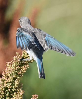 Photo of Mountain Bluebird Wings Spread Horseshoe Canyon on NaturalCrooksDotCom