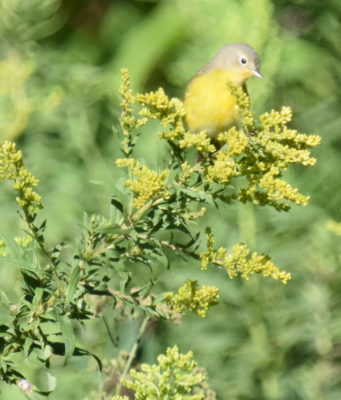 Photo of Nashville Warbler on Goldenrod on naturalcrooksdotcom
