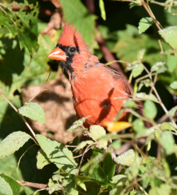 Photo of Northern Cardinal Male Rattray Sept on naturalcrooksdotcom