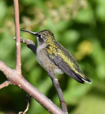 Photo of Ruby-throated Hummingbird Rattray Sept on naturalcrooksdotcom