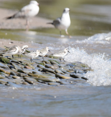 Photo of Sanderlings Jack Darling Sept on naturalcrooksdotcom