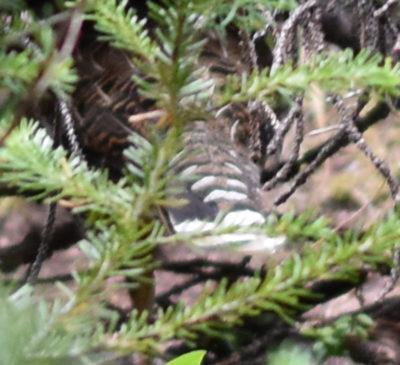 Photo of Spruce Grouse Tail Feathers Peyto Lake on naturalcrooksdotcom