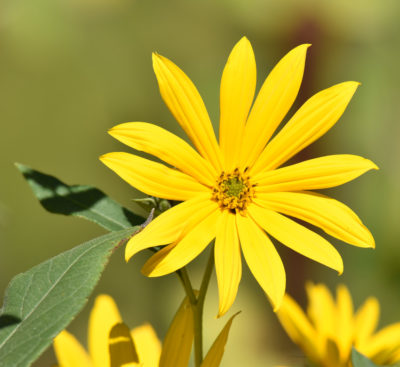 Photo of sunflower possibly Jerusalem Artichoke on naturalcrooksdotcom