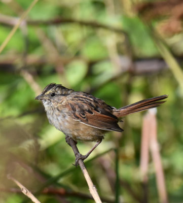 Photo of Swamp Sparrow Immature Rattray Sept on naturalcrooksdotcom