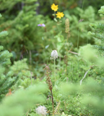 Photo of Western Pasque Flower Seedheads and Others Peyto Lake on naturalcrooksdotcom