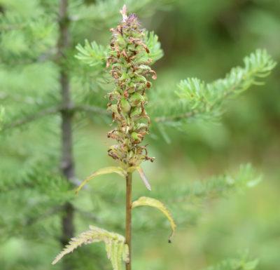 Photo of Wildflower Like Lousewort Peyto Lake on naturalcrooksdotcom