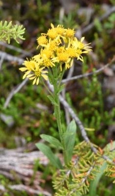 Photo of Wildflower Yellow Long Leaves Peyto Lake on naturalcrooksdotcom