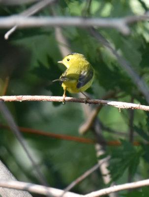 Photo of Wilsons Warbler Male on naturalcrooksdotcom