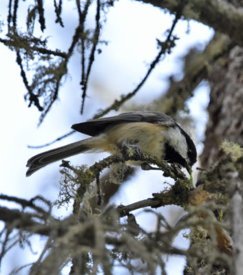 Photo of Black-capped Chickadee Pulling Caterpillar Fenlands Banff on naturalcrooksdotcom
